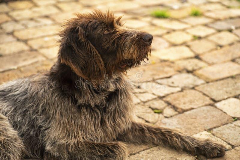 tła być prześladowanym łowieckiego labradora biel kolor żółty Drathaar Brown dorosłego pies z smutnymi oczami Brązu pies, łowieck obraz royalty free