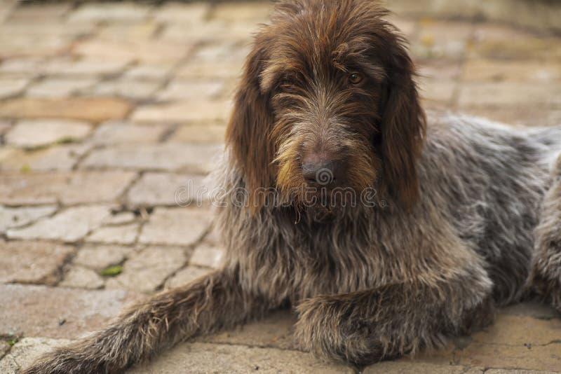 tła być prześladowanym łowieckiego labradora biel kolor żółty Drathaar Brown dorosłego pies z smutnymi oczami Brązu pies, łowieck obrazy stock