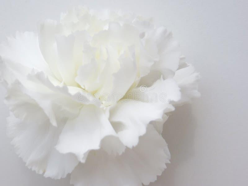 tła chryzantemy chabrowy dalii stokrotki kwiat kwitnie gerber nagietka osteospermum wyboru ustalonego strawflower biel fotografia royalty free
