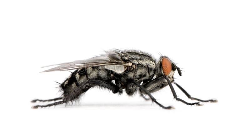 tła ciał komarnicy przodu biel obraz royalty free