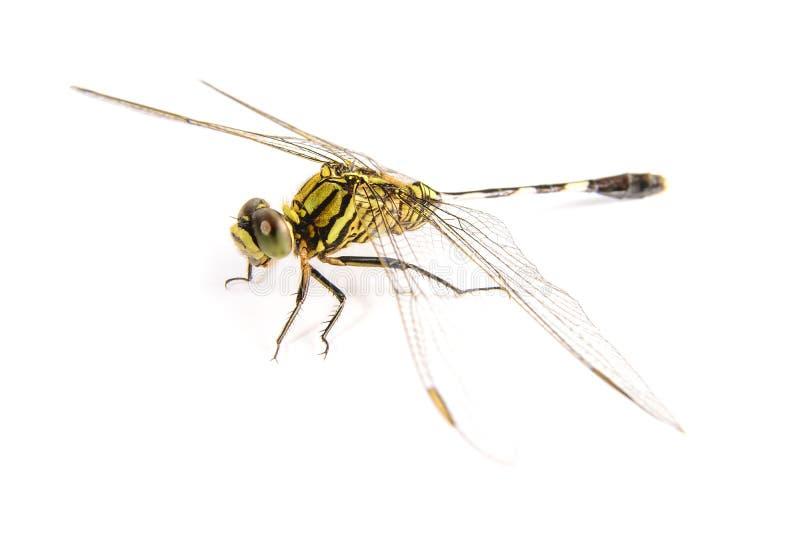 tła czarny Cecilia dragonfly zieleni ophiogomphus snaketail Zielony Snaketail dragonfly obraz royalty free