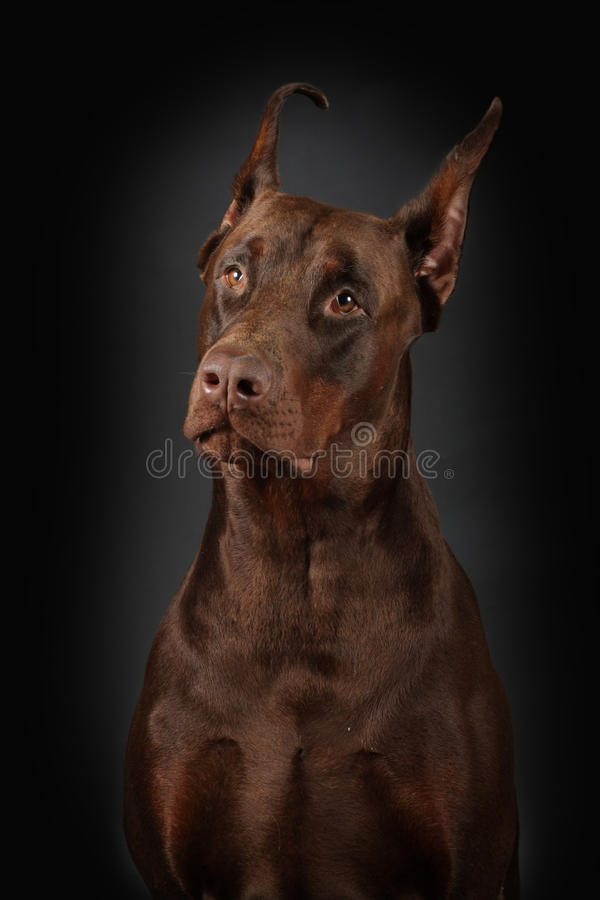 tła czarny dobermann portret fotografia stock