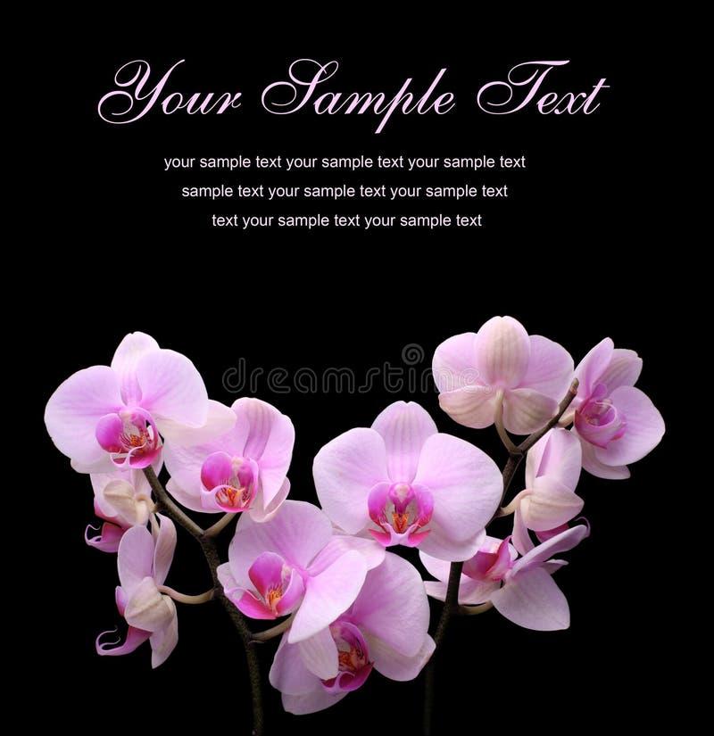 tła czerń kwiat odizolowywający zdjęcie royalty free