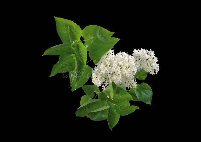 tła czerń kwiatu biel obraz royalty free