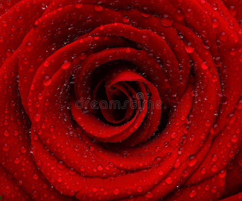 tła czerwieni róża mokra zdjęcie stock