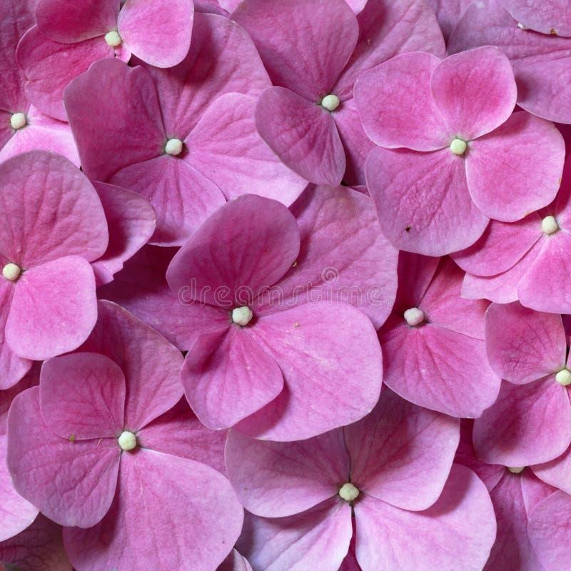 tła czysty różowy fotografia royalty free