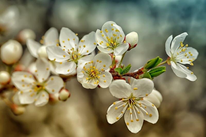 tła gałęziastego czereśniowego kwiecenia odosobniony biel fotografia royalty free