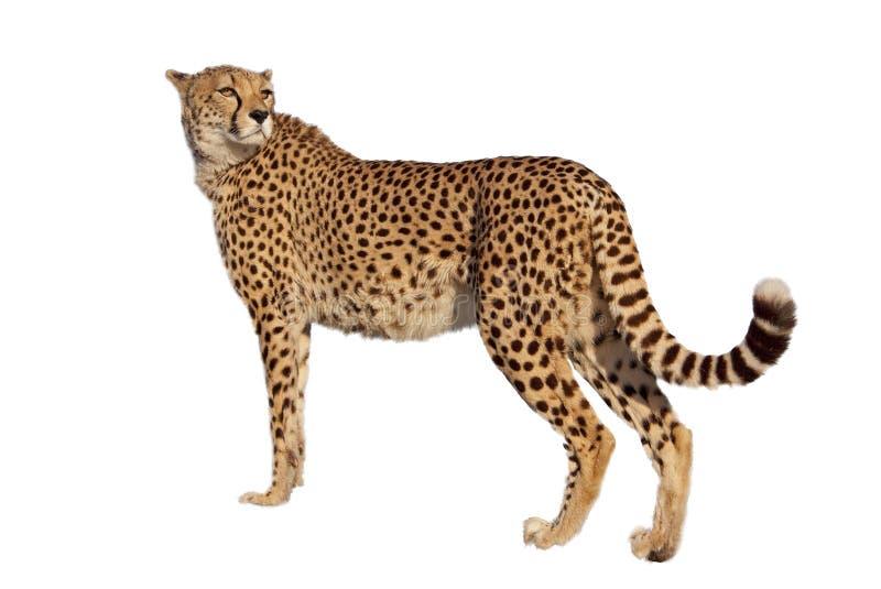 tła geparda biel obrazy royalty free