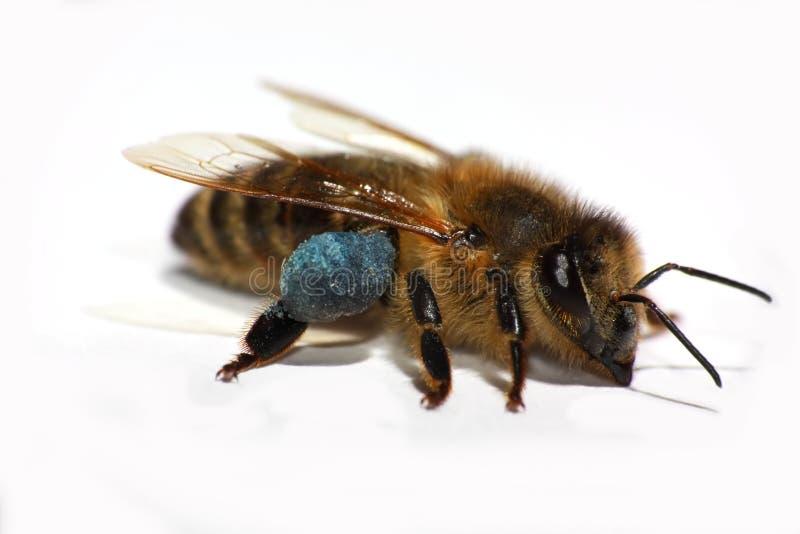 tła honeybee odosobniony biel fotografia royalty free