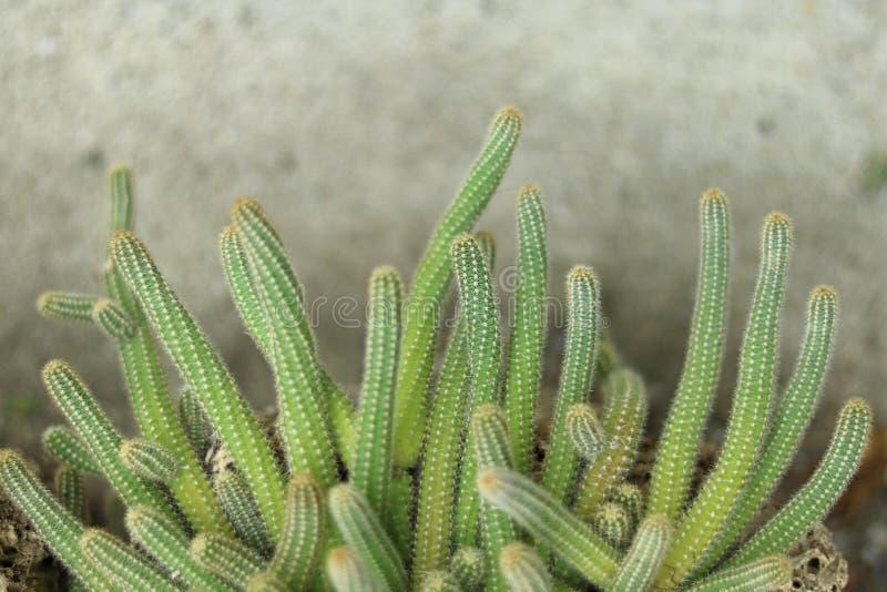 tła kaktus odizolowywający garnka biel obrazy stock