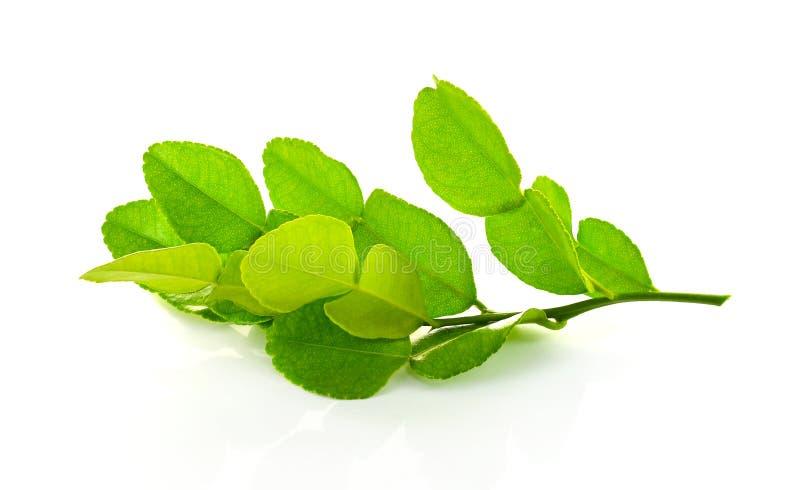 tła karmowi składniki odizolowywający kaffir liść wapnią tajlandzkiego biel obrazy stock