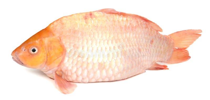 tła karpia ryba odosobniony biel zdjęcie stock