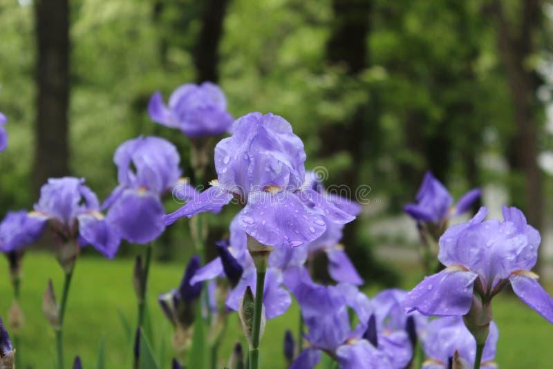 tła karty kwiatu powitania irysa strony szablonu cechy ogólnej sieć zdjęcia royalty free