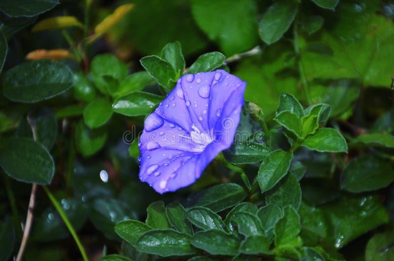 tła koloru kwiatu chwały ranek naturalny fiołek zdjęcia stock