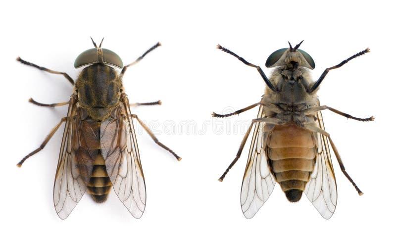 tła komarnic frontowy koński biel zdjęcia stock