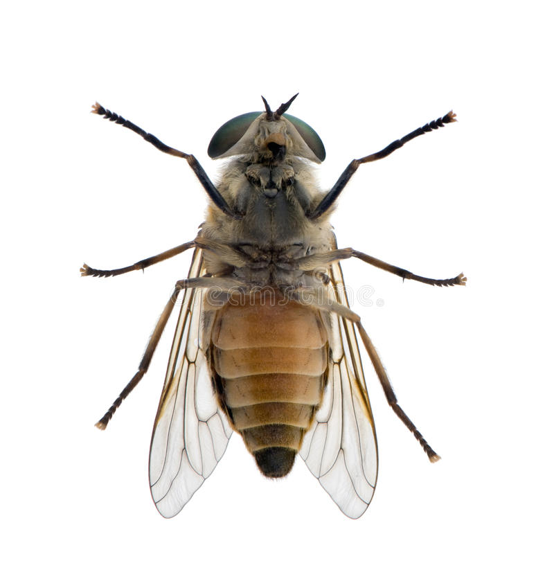 tła komarnicy przodu koński biel zdjęcia stock