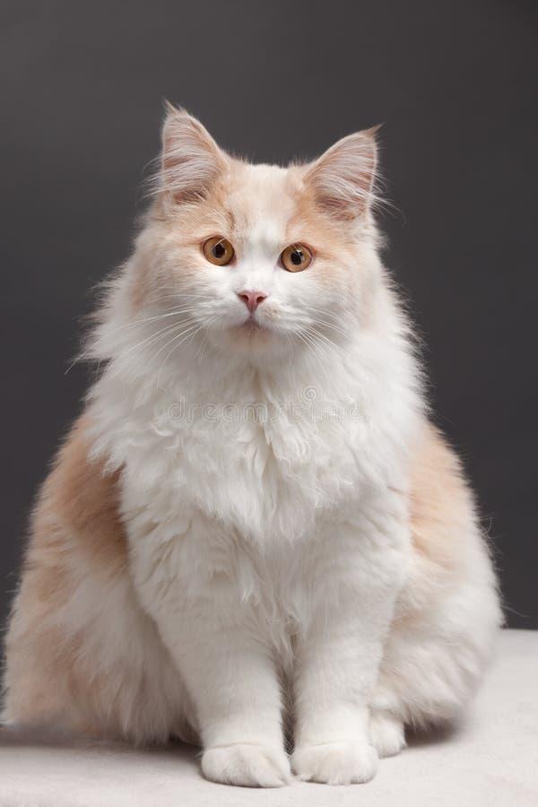 tła kota grey obraz royalty free