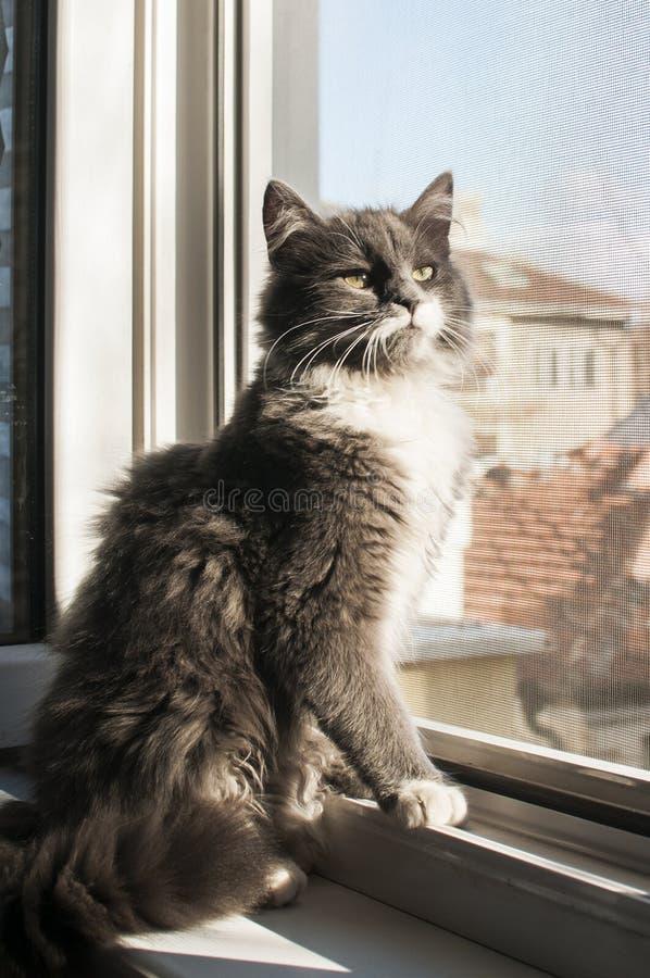 tła kota szarość odosobneni biały potomstwa zdjęcia stock