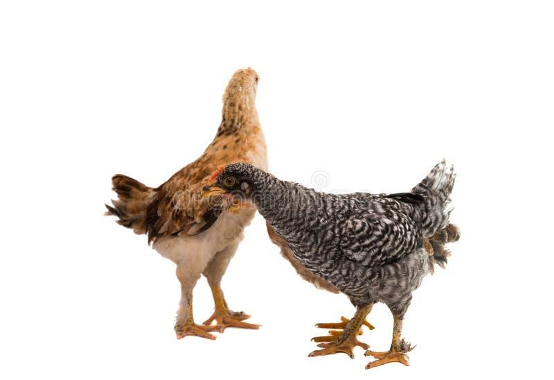 Download Tła Kurczaki Odizolowywający Przyglądający Trwanie Biel Obraz Stock - Obraz złożonej z cockerel, życie: 57662503