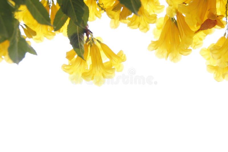 tła kwiatu biel kolor żółty zdjęcie royalty free