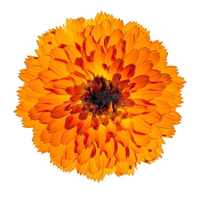 tła kwiatu gerbera odosobniony pomarańczowy biel zdjęcia stock