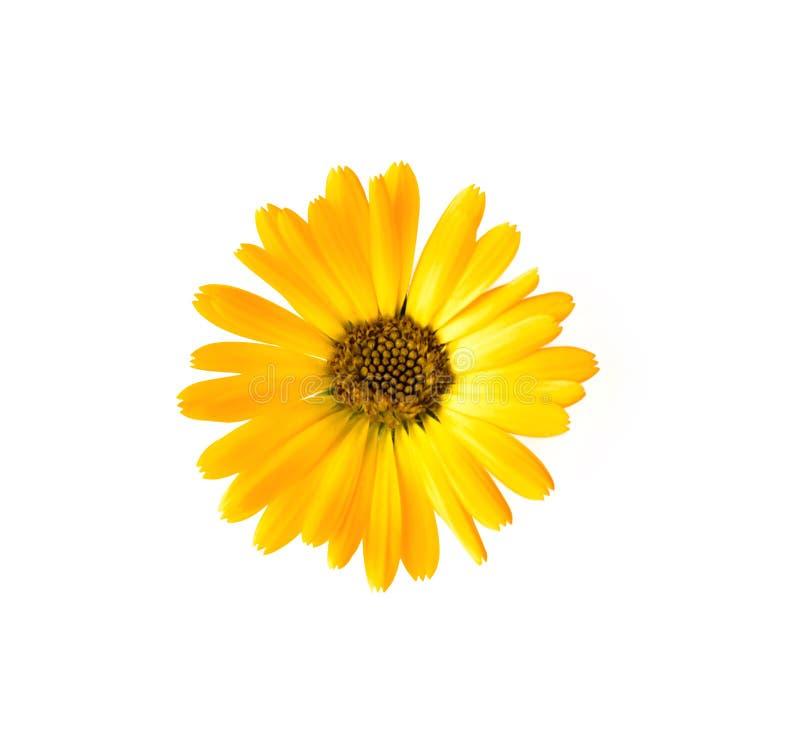 tła kwiatu odosobniony biały kolor żółty zdjęcia royalty free