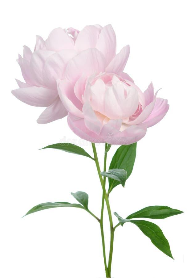 tła kwiatu peoni biel obraz royalty free