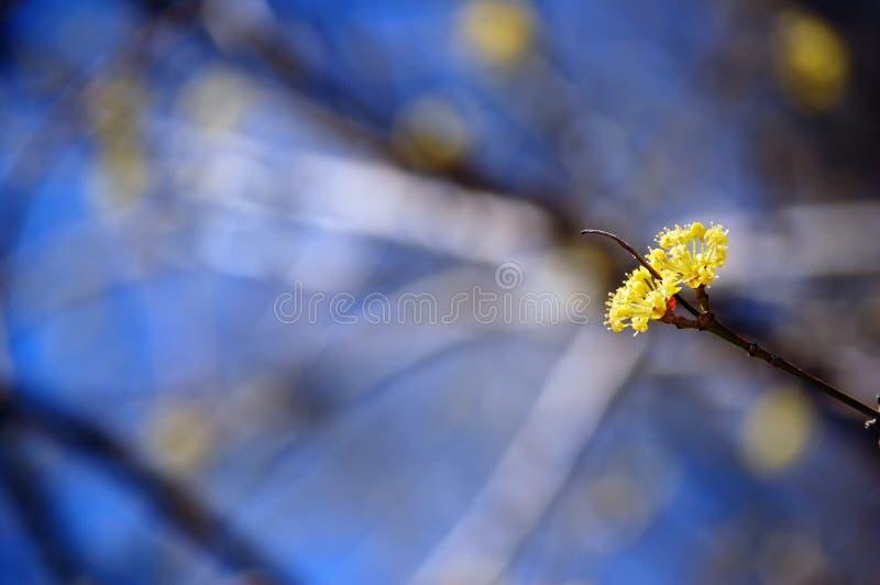 tła kwitnienie zamazujący gałęziasty cornel drzewo zdjęcie stock