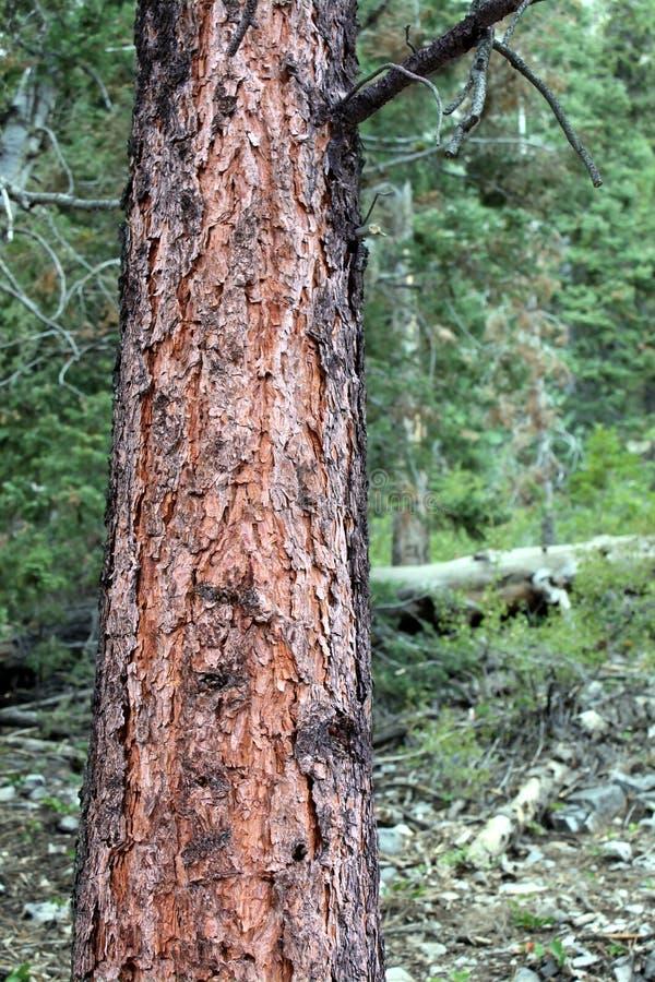 tła lasu sosna zdjęcie royalty free