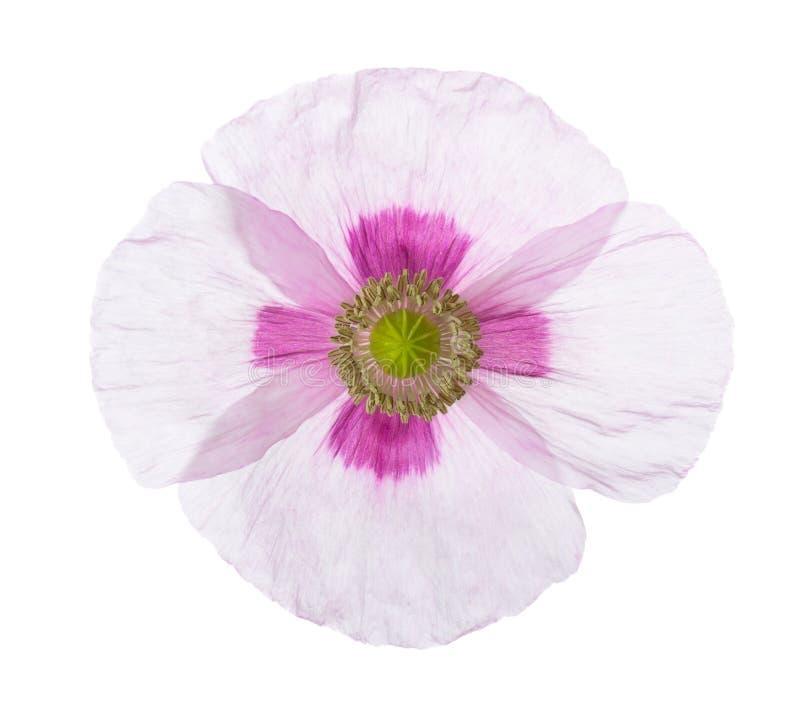tła leków kwiat odizolowywał maczka żadnego biel Papaver - somniferum opiumowy maczek obraz stock