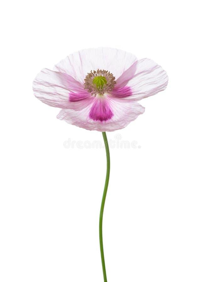 tła leków kwiat odizolowywał maczka żadnego biel Papaver - somniferum opiumowy maczek zdjęcia royalty free