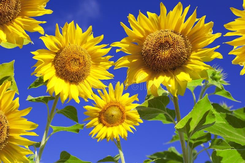 tła nieba słoneczniki obrazy stock