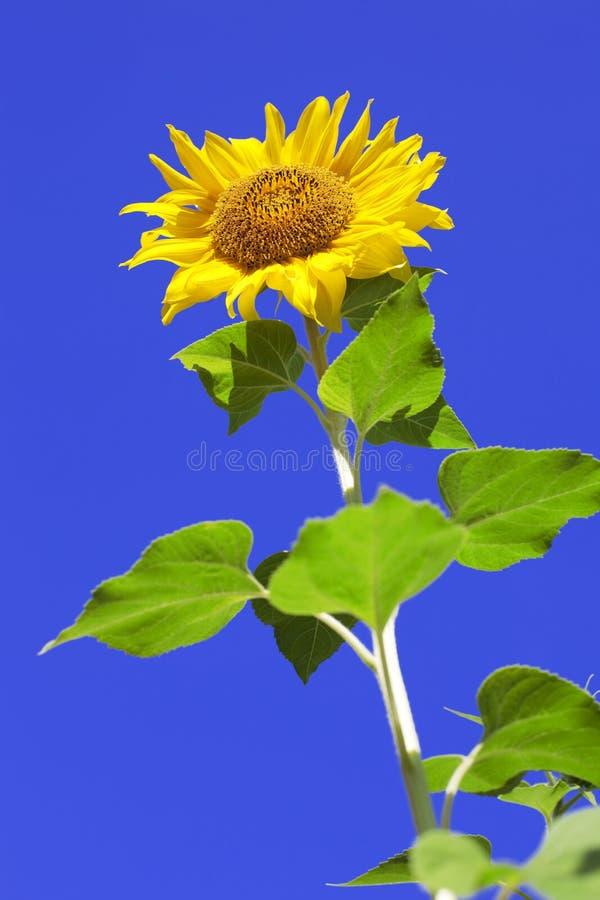 tła nieba słoneczniki obrazy royalty free