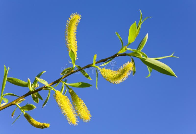 tła niebieskiego nieba wiosna twigon wierzba zdjęcie stock