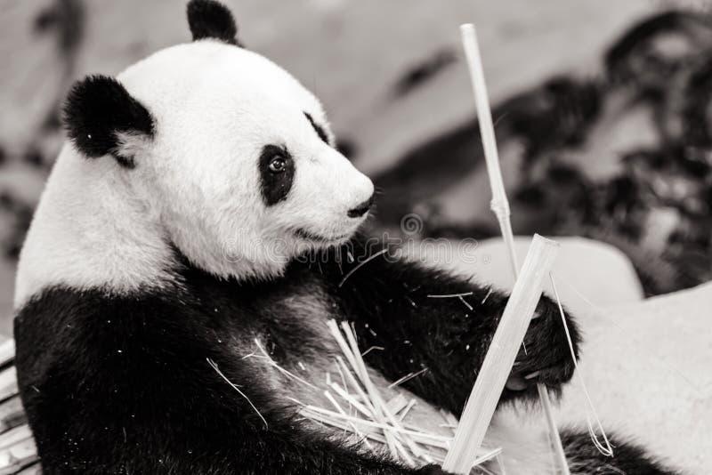 tła niedźwiadkowej kreskówki ilustracyjny pandy stylu biel zdjęcia stock