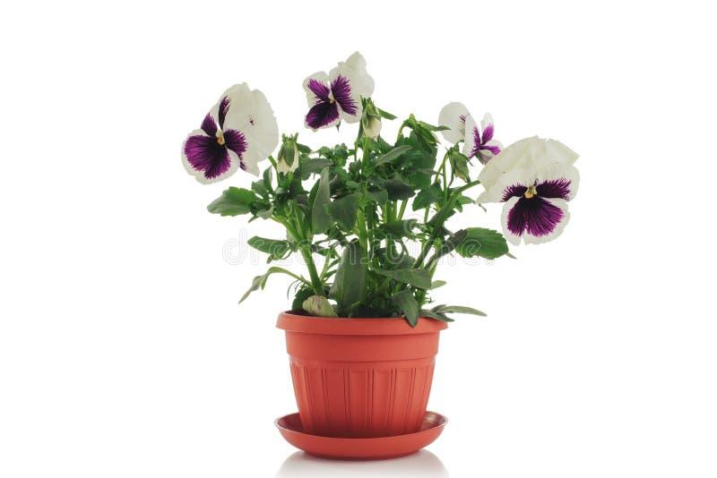 tła piękny kwiat odizolowywający garnka fiołkowy biel obrazy royalty free