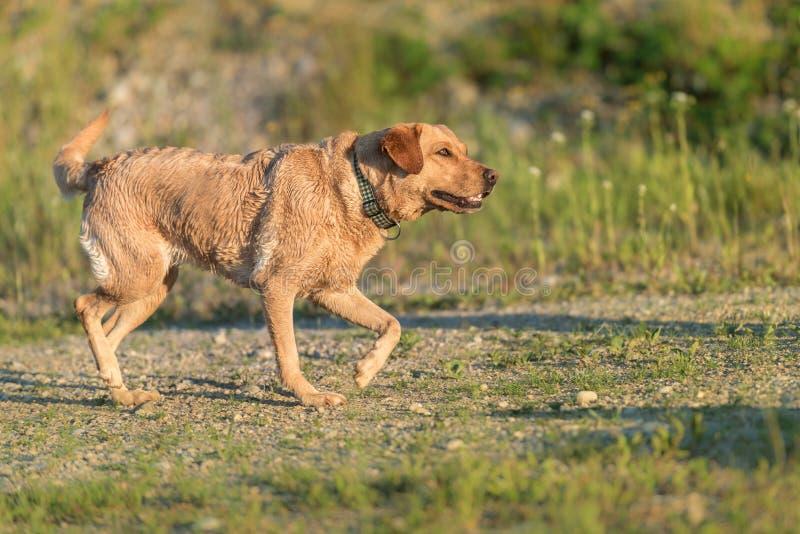 tła psi szary labradora szczeniaka tyły aporteru widok Pies biega w natura w sezonu lecie fotografia stock