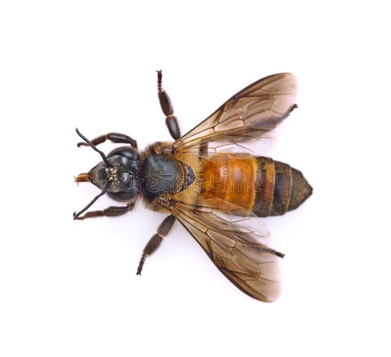 tła pszczoły makro- strzału biel obrazy stock