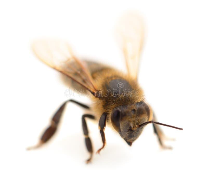 tła pszczoły makro- strzału biel zdjęcia royalty free