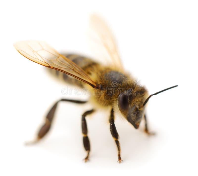 tła pszczoły makro- strzału biel fotografia royalty free
