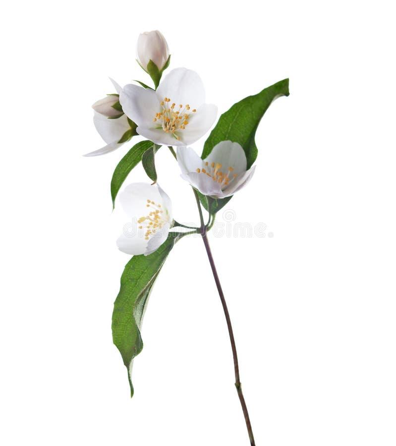 tła różnic kwiatów jaśminowy ładny sezonowy temat zdjęcie stock