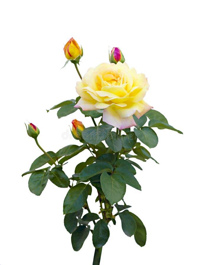 tła róży biel kolor żółty zdjęcie royalty free