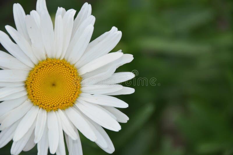tła rumianku pola kwiatu zieleń zdjęcie stock