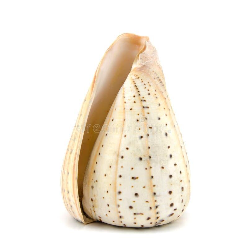 tła seashell strzału pracowniany biel zdjęcie royalty free
