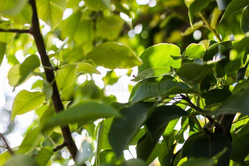 tła ulistnienia zieleni liść wapna sprig obrazy royalty free