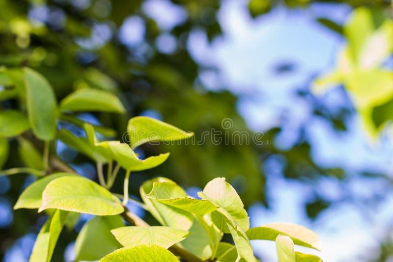 tła ulistnienia zieleni liść wapna sprig zdjęcie stock