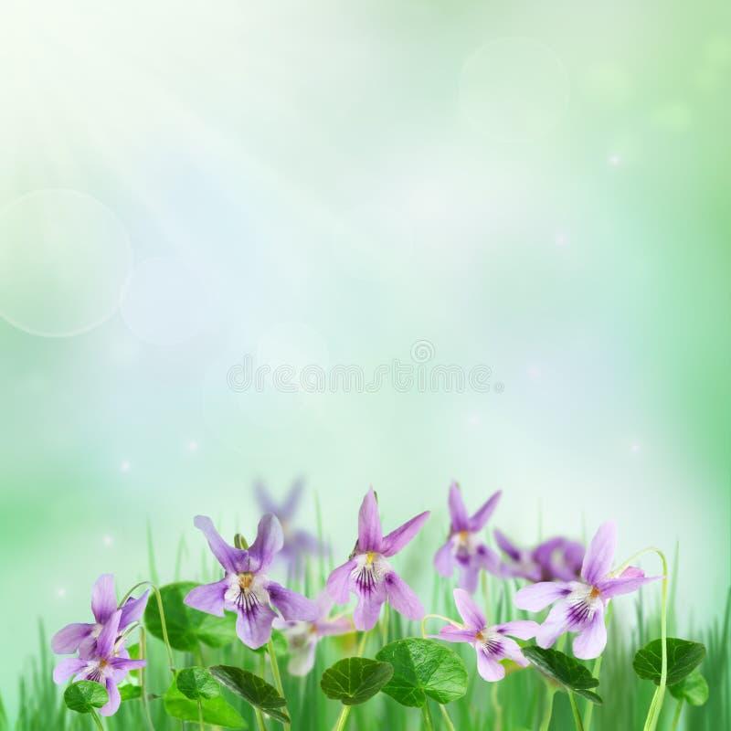 tła wiosna fiołki obrazy stock