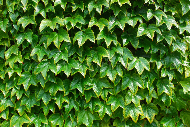 tła zieleni liść zdjęcia royalty free
