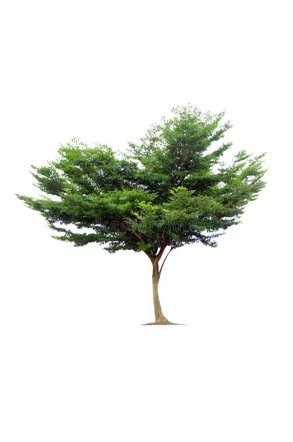tła zieleni odosobniony drzewny biel fotografia royalty free