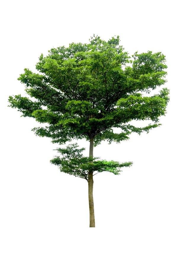 tła zieleni odosobniony drzewny biel obrazy stock